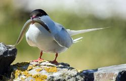 Artic Tern with Sand eel. Artic Tern (Sterna Paradisnea) with sand eel for chick stock images
