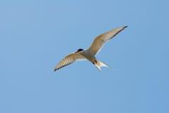 Artic Tern (Sterna Paradisaea) Royalty Free Stock Photos