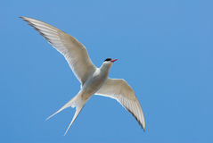 Artic Tern (Sterna Paradisaea) Stock Photography