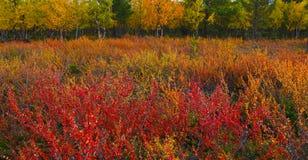 Artic tundra. Autumn colors (ruska), finnish lapland Stock Image