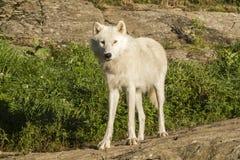 Artic varg fotografering för bildbyråer