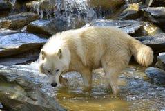 Artic varg i vatten Arkivfoto