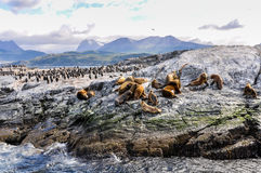 Artic wildlife, Beagle Channel, Ushuaia, Argentina. A big group of seals and sea lions, Beagle Channel, Ushuaia, Argentina Royalty Free Stock Photography
