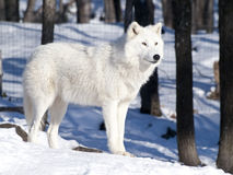 Artic wolf. In cold winter Royalty Free Stock Photo