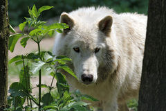 Artic wolf. Shy artic wolf hiding behind a tree royalty free stock photos