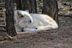 Artic Wolf Lizenzfreie Stockfotografie