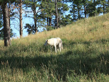 Artic Wolf at Bear Country Royalty Free Stock Photo