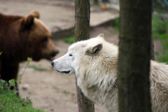 Artic wolf and brown bear Royalty Free Stock Photo
