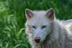 Artic wolf in a green field. Artic wolf close up stock photo