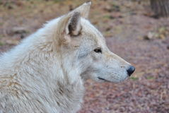 Artic Wolf. An image of an artic wolf resting Royalty Free Stock Images