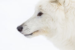 Artic Wolf In The Snow Stock Photos