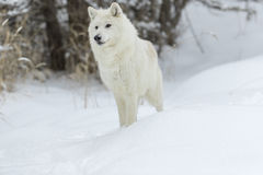 Artic Wolf In The Snow Royalty Free Stock Photos