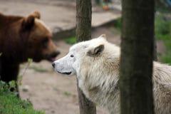 Artic Wolf und brauner Bär Lizenzfreies Stockfoto