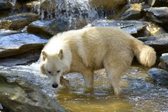 Artic wolf in water Stock Photo
