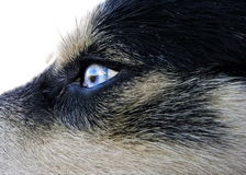Artic wolfhound dog eye Stock Image