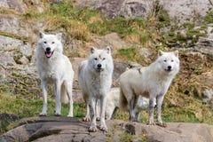 Artic Wolfs w Parc omedze Kanada Zdjęcie Stock