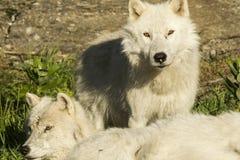 Artic wolve fotografering för bildbyråer