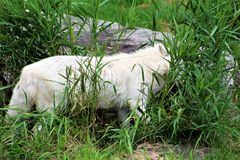 Parc Park Safari, Hemmingford, Quebec, Canada. Artic Wolve hiding in green tall grass at the Parc Park Safari, located in Hemmingford, Quebec, Canada Royalty Free Stock Image