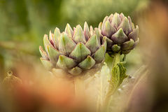 Artichaut (cardunculus de Cynara) Images stock