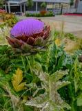 Artichaut dans la fin de pleine floraison  Photos libres de droits