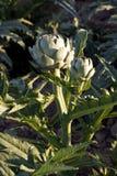 Artichaut in field Stock Photo