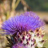 artichocke λουλούδια Στοκ εικόνες με δικαίωμα ελεύθερης χρήσης