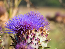 artichocke λουλούδια Στοκ Εικόνες