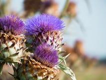 artichocke λουλούδι Στοκ Φωτογραφίες