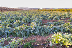 Artichockes. Royalty Free Stock Images