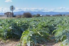 Artichockes. Planting artichokes in the Mediterranean Royalty Free Stock Image
