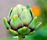 Artichoke. Ripe artichoke still in its garden patch Royalty Free Stock Photography