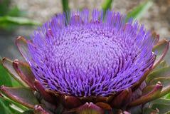Artichoke. Plant in full bloom Royalty Free Stock Image
