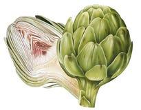 Artichoke. Detailed illustration of an Artichoke Stock Images