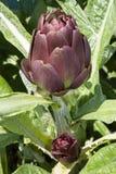 Artichoke. Cynara scolymus, ingredient for mediterranean diet Stock Images