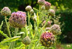 Artichoke and artichoke flower in a garden Royalty Free Stock Photography