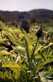 Artichoke. S growing  in the fields Royalty Free Stock Images