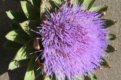 Artichoke Bloom Stock Image