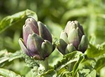 Artichoke buds Stock Image