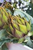 Artichoke - Cynara cardunculus Royalty Free Stock Images