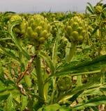 Artichoke Field Royalty Free Stock Image