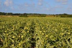Artichoke field. France  vegetables plants Royalty Free Stock Image