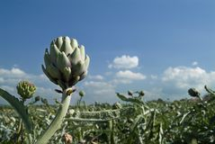 Artichoke Field Royalty Free Stock Images