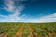 Artichoke Fields Stock Image