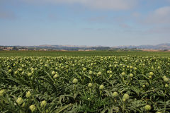 Artichoke fields. Artichokes growing in castroville california, 'the artichoke center of the world stock image