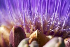 Artichoke flower Stock Photo