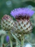 Artichoke flower. Detail of purple flower of artichoke, in a garden in Paris Stock Images