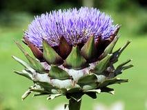 Artichoke flower Stock Image
