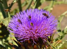 Artichoke flower with bees and wasps Royalty Free Stock Photography