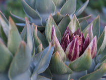 Artichoke. Flower in the Evening Royalty Free Stock Images