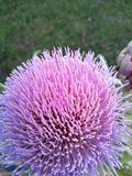 Artichoke flower no filter stock images